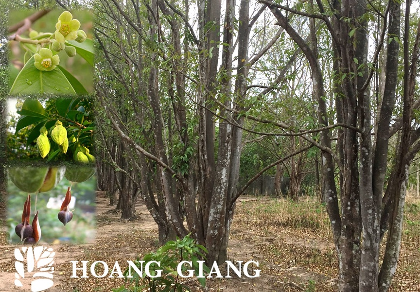 Aquilaria Crassna in Vietnam produces the best agarwood of the world